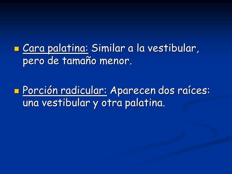 Cara palatina: Similar a la vestibular, pero de tamaño menor. Cara palatina: Similar a la vestibular, pero de tamaño menor. Porción radicular: Aparece