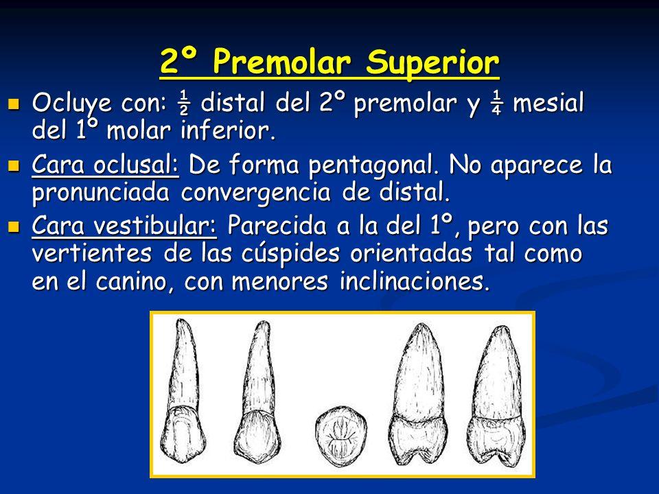 2º Premolar Superior Ocluye con: ½ distal del 2º premolar y ¼ mesial del 1º molar inferior.
