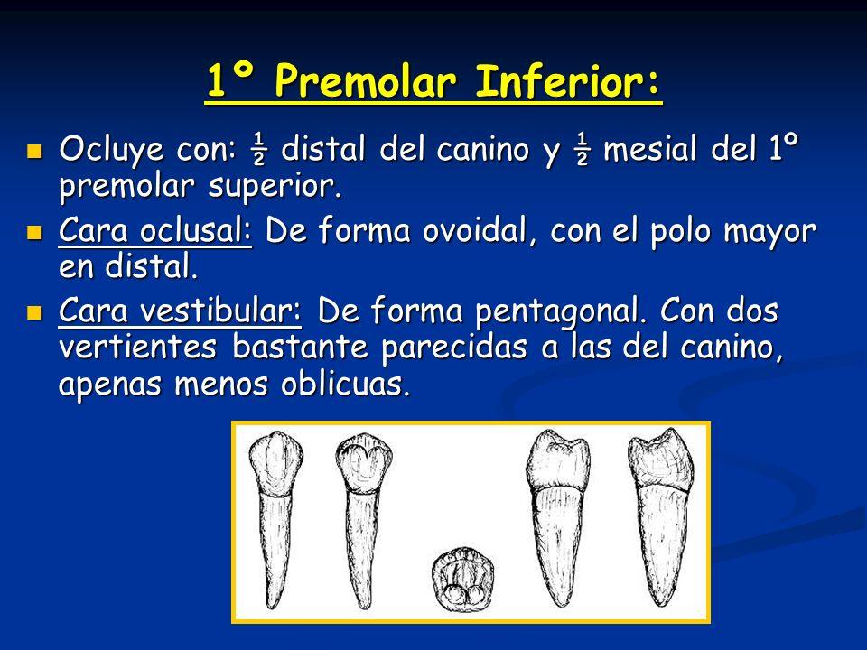 1º Premolar Inferior: Ocluye con: ½ distal del canino y ½ mesial del 1º premolar superior. Ocluye con: ½ distal del canino y ½ mesial del 1º premolar