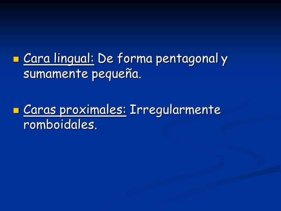 Cara lingual: De forma pentagonal y sumamente pequeña. Cara lingual: De forma pentagonal y sumamente pequeña. Caras proximales: Irregularmente romboid