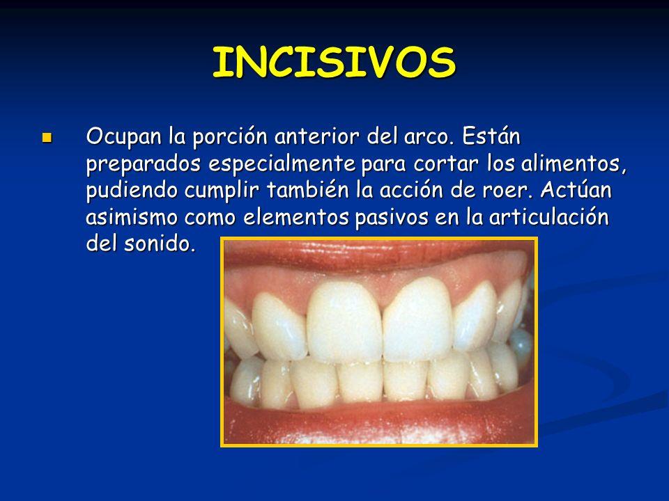 Incisivo Lateral Inferior Ocluye con: distal del incisivo central y ½ mesial de lateral superior.
