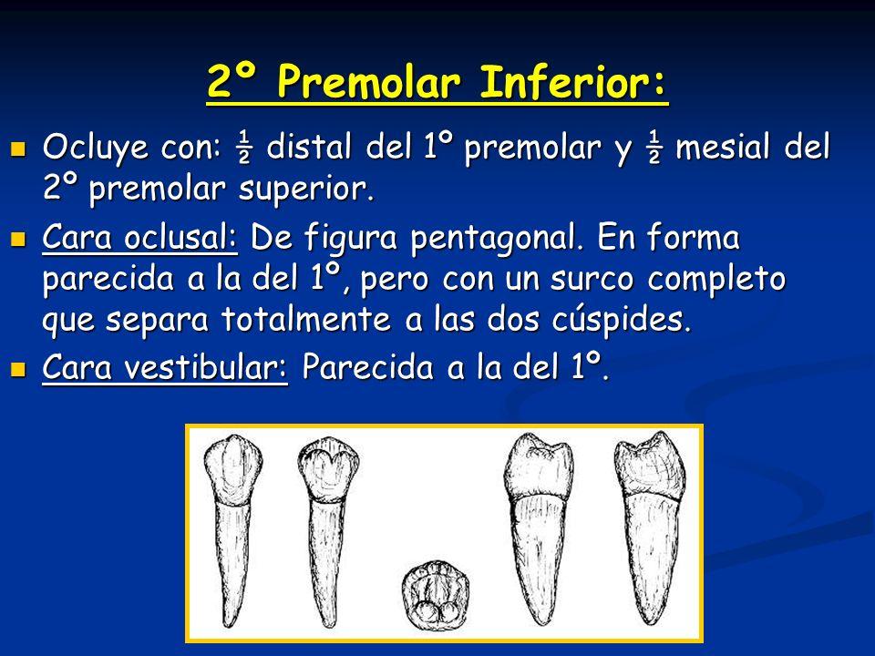 2º Premolar Inferior: Ocluye con: ½ distal del 1º premolar y ½ mesial del 2º premolar superior. Ocluye con: ½ distal del 1º premolar y ½ mesial del 2º