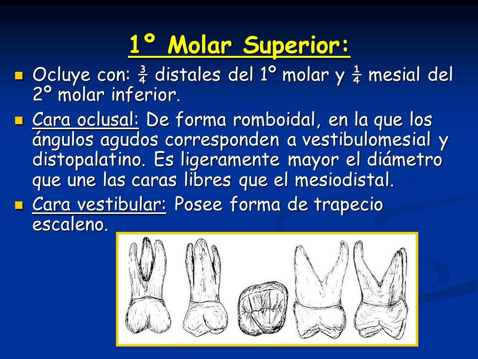 1º Molar Superior: Ocluye con: ¾ distales del 1º molar y ¼ mesial del 2º molar inferior. Ocluye con: ¾ distales del 1º molar y ¼ mesial del 2º molar i