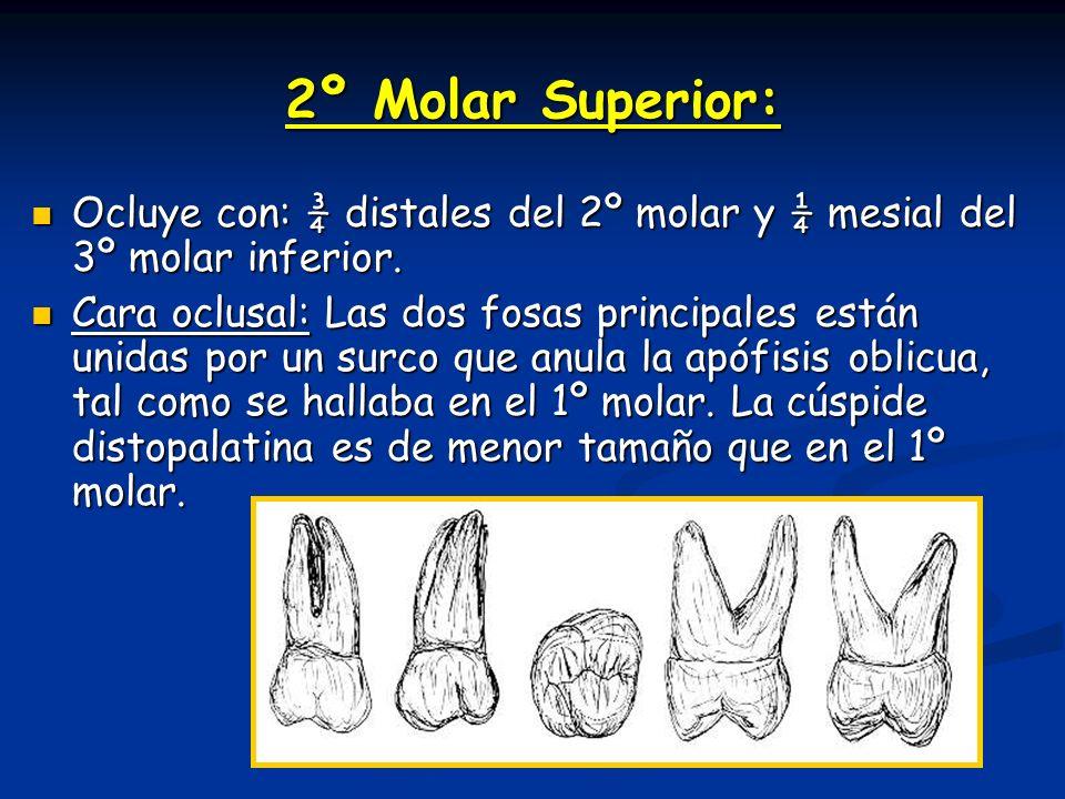2º Molar Superior: Ocluye con: ¾ distales del 2º molar y ¼ mesial del 3º molar inferior. Ocluye con: ¾ distales del 2º molar y ¼ mesial del 3º molar i