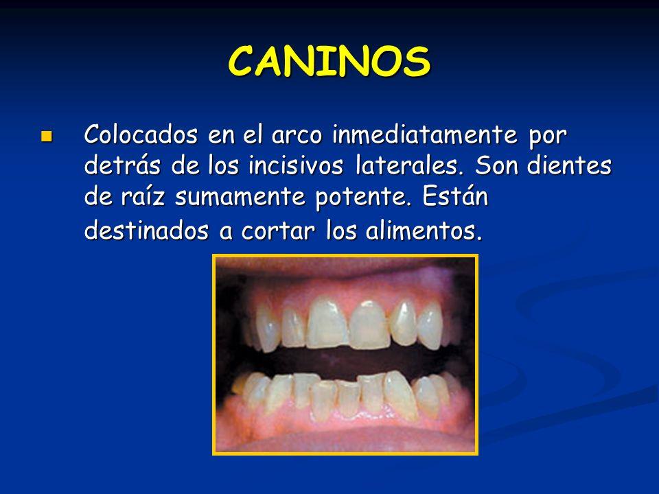 CANINOS Colocados en el arco inmediatamente por detrás de los incisivos laterales. Son dientes de raíz sumamente potente. Están destinados a cortar lo