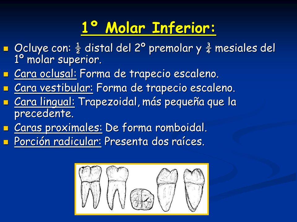 1º Molar Inferior: Ocluye con: ½ distal del 2º premolar y ¾ mesiales del 1º molar superior. Ocluye con: ½ distal del 2º premolar y ¾ mesiales del 1º m