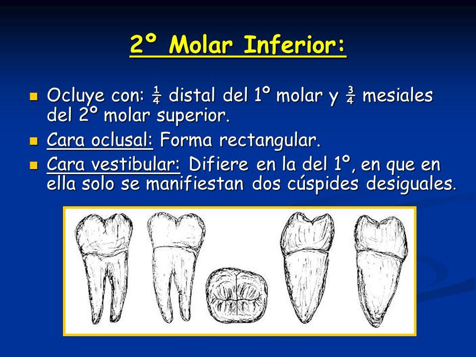 2º Molar Inferior: Ocluye con: ¼ distal del 1º molar y ¾ mesiales del 2º molar superior. Ocluye con: ¼ distal del 1º molar y ¾ mesiales del 2º molar s