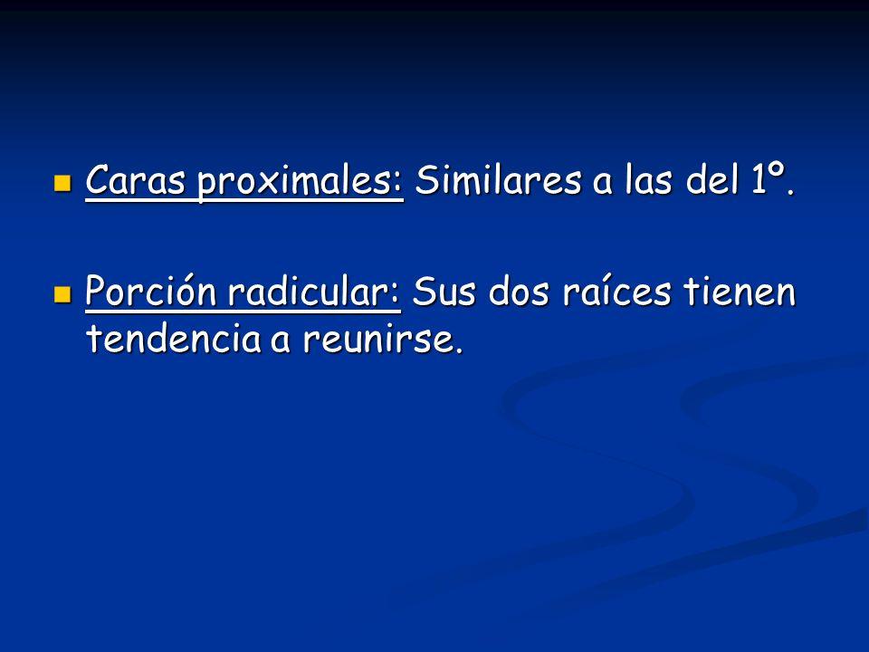 Caras proximales: Similares a las del 1º.Caras proximales: Similares a las del 1º.