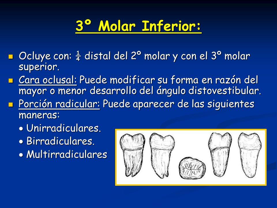 3º Molar Inferior: Ocluye con: ¼ distal del 2º molar y con el 3º molar superior. Ocluye con: ¼ distal del 2º molar y con el 3º molar superior. Cara oc