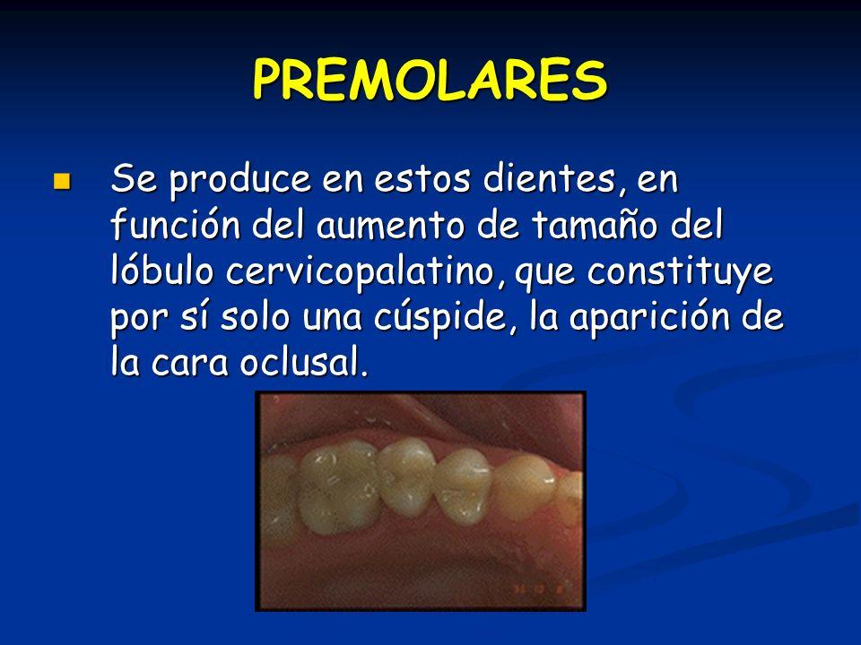 PREMOLARES Se produce en estos dientes, en función del aumento de tamaño del lóbulo cervicopalatino, que constituye por sí solo una cúspide, la aparición de la cara oclusal.