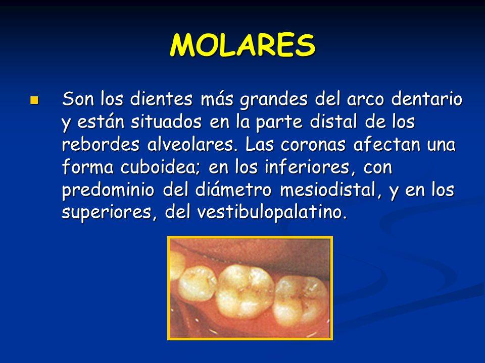 MOLARES Son los dientes más grandes del arco dentario y están situados en la parte distal de los rebordes alveolares. Las coronas afectan una forma cu