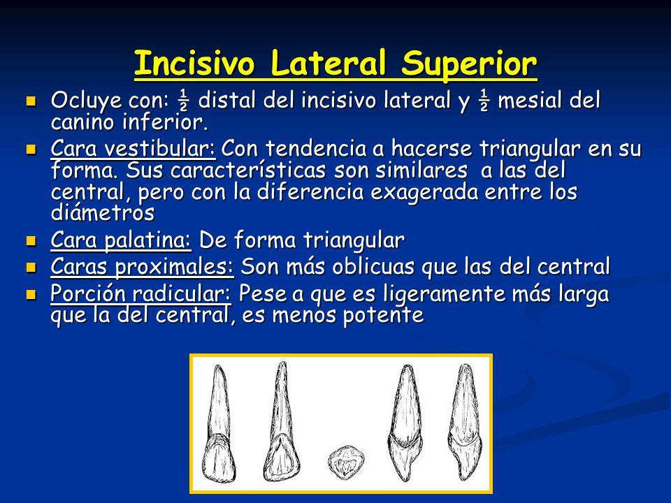 3º Molar Superior: Ocluye con: ¾ distales del 3º molar inferior.