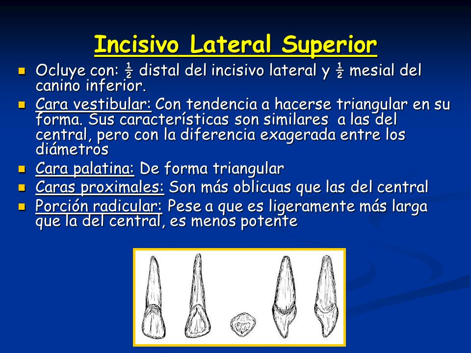 Incisivo Lateral Superior Ocluye con: ½ distal del incisivo lateral y ½ mesial del canino inferior. Ocluye con: ½ distal del incisivo lateral y ½ mesi