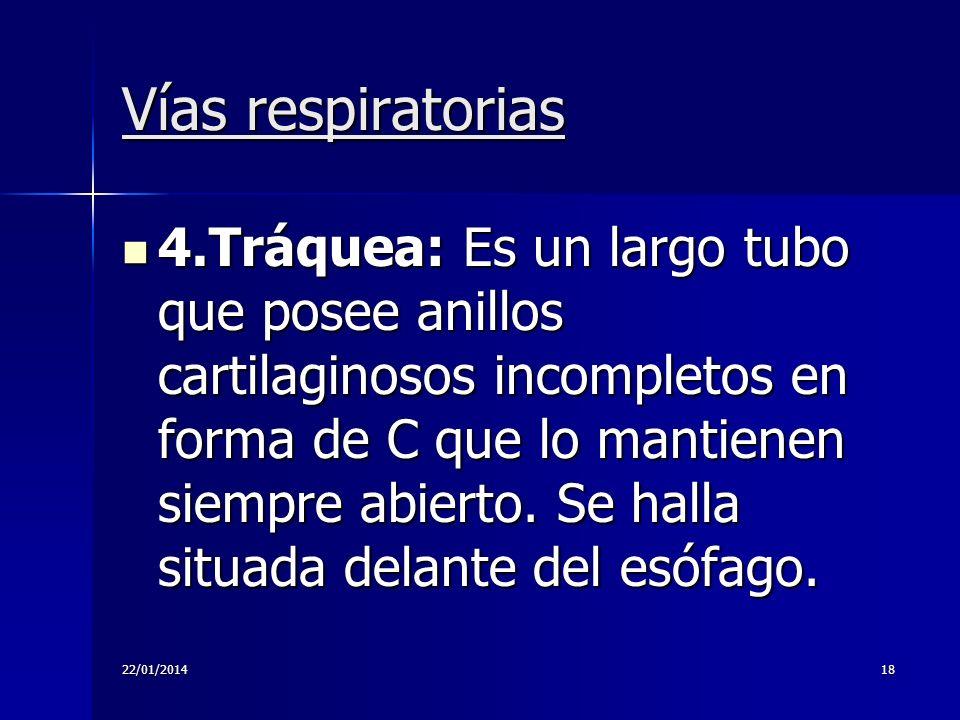 22/01/201418 Vías respiratorias 4.Tráquea: Es un largo tubo que posee anillos cartilaginosos incompletos en forma de C que lo mantienen siempre abiert