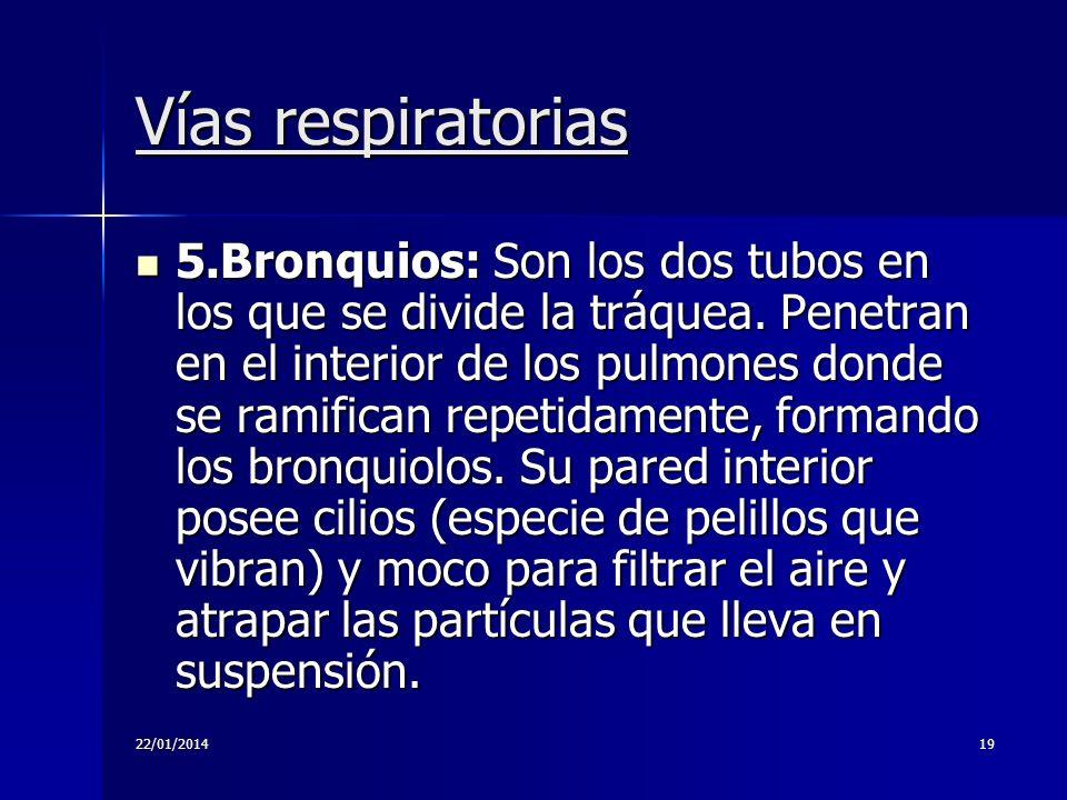 22/01/201419 Vías respiratorias 5.Bronquios: Son los dos tubos en los que se divide la tráquea. Penetran en el interior de los pulmones donde se ramif