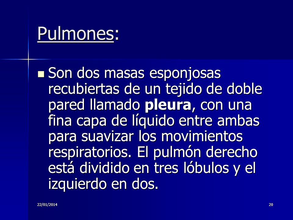 22/01/201420 Pulmones: Son dos masas esponjosas recubiertas de un tejido de doble pared llamado pleura, con una fina capa de líquido entre ambas para