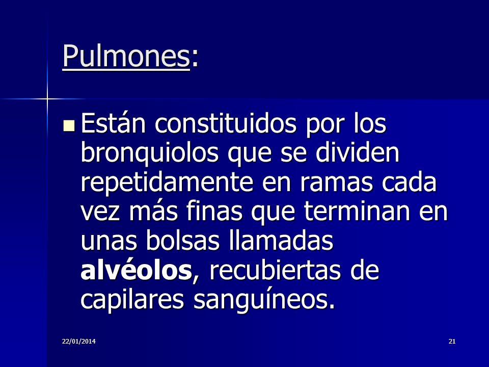22/01/201421 Pulmones: Están constituidos por los bronquiolos que se dividen repetidamente en ramas cada vez más finas que terminan en unas bolsas lla