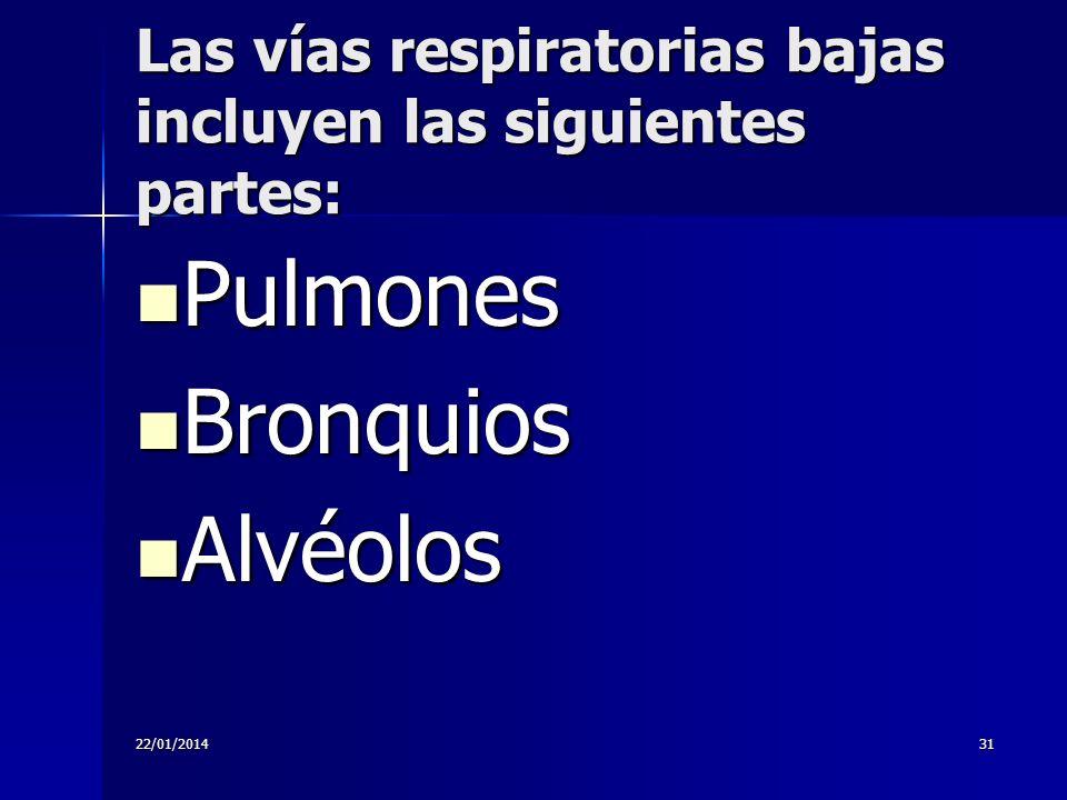 22/01/201431 Las vías respiratorias bajas incluyen las siguientes partes: Pulmones Pulmones Bronquios Bronquios Alvéolos Alvéolos