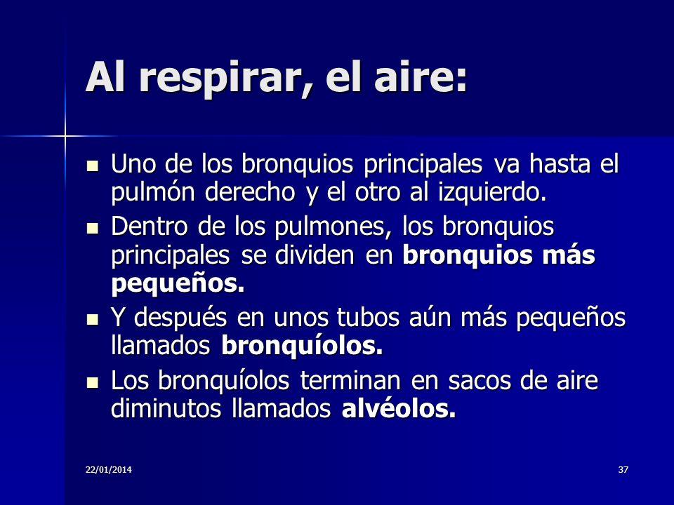 22/01/201437 Al respirar, el aire: Uno de los bronquios principales va hasta el pulmón derecho y el otro al izquierdo. Uno de los bronquios principale