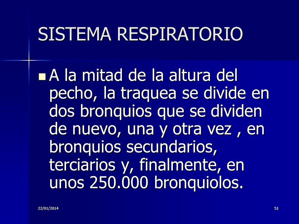 22/01/201451 SISTEMA RESPIRATORIO A la mitad de la altura del pecho, la traquea se divide en dos bronquios que se dividen de nuevo, una y otra vez, en