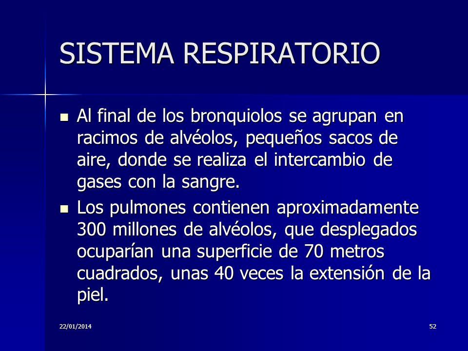 22/01/201452 SISTEMA RESPIRATORIO Al final de los bronquiolos se agrupan en racimos de alvéolos, pequeños sacos de aire, donde se realiza el intercamb