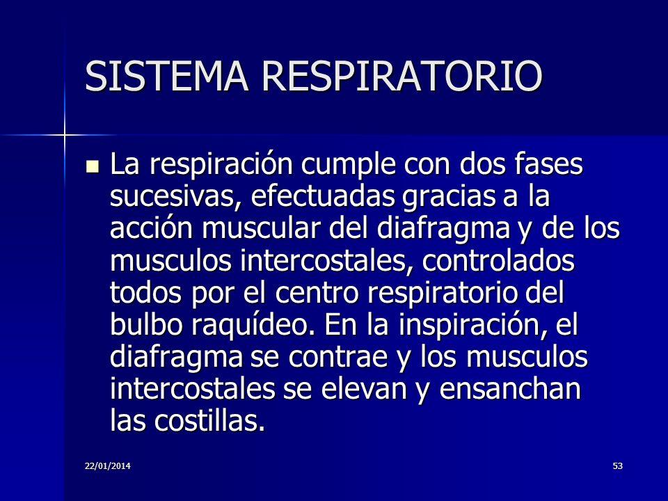 22/01/201453 SISTEMA RESPIRATORIO La respiración cumple con dos fases sucesivas, efectuadas gracias a la acción muscular del diafragma y de los muscul