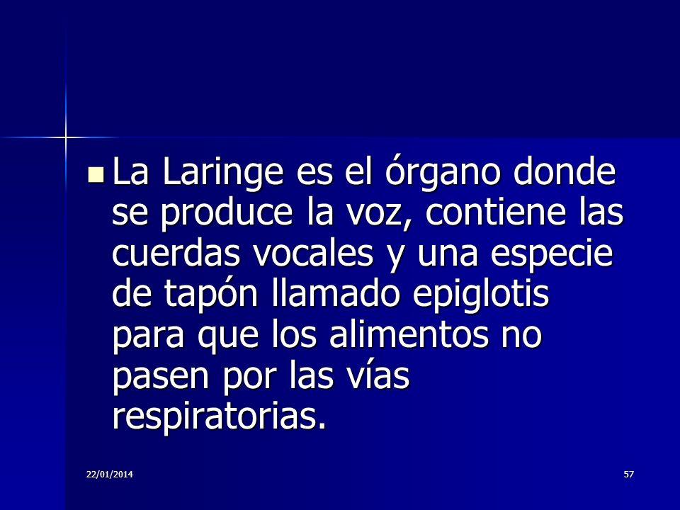 22/01/201457 La Laringe es el órgano donde se produce la voz, contiene las cuerdas vocales y una especie de tapón llamado epiglotis para que los alime