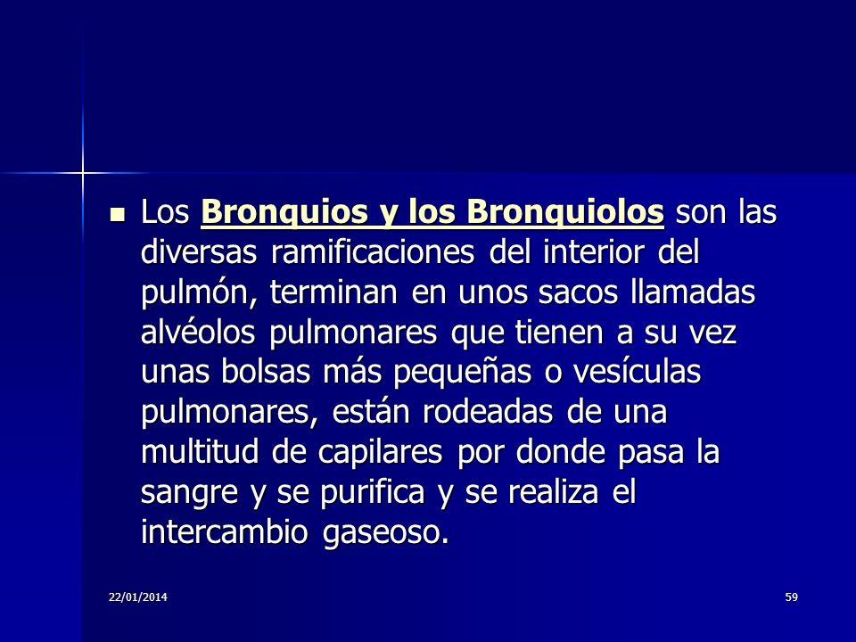 22/01/201459 Los Bronquios y los Bronquiolos son las diversas ramificaciones del interior del pulmón, terminan en unos sacos llamadas alvéolos pulmona