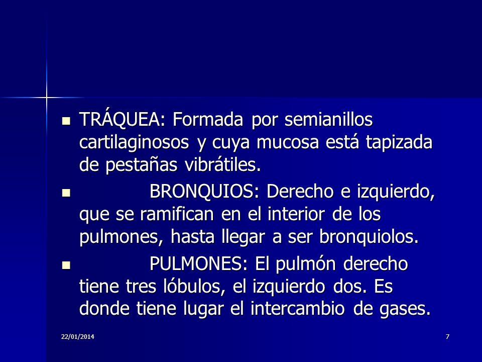 22/01/20147 TRÁQUEA: Formada por semianillos cartilaginosos y cuya mucosa está tapizada de pestañas vibrátiles. TRÁQUEA: Formada por semianillos carti