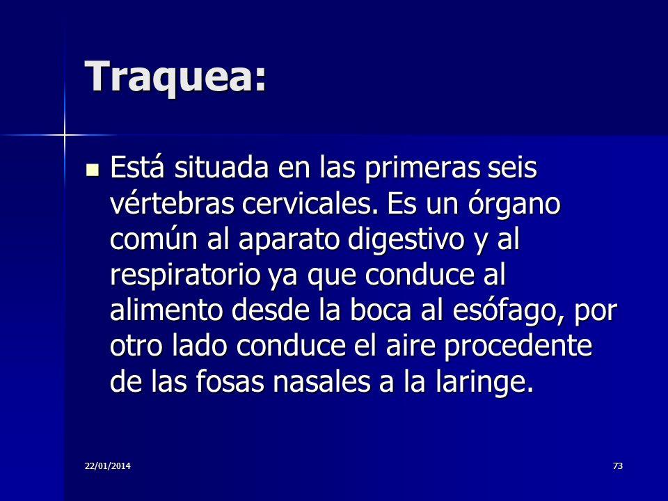 22/01/201473 Traquea: Está situada en las primeras seis vértebras cervicales. Es un órgano común al aparato digestivo y al respiratorio ya que conduce