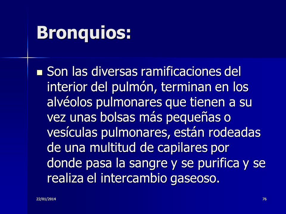 22/01/201476 Bronquios: Son las diversas ramificaciones del interior del pulmón, terminan en los alvéolos pulmonares que tienen a su vez unas bolsas m