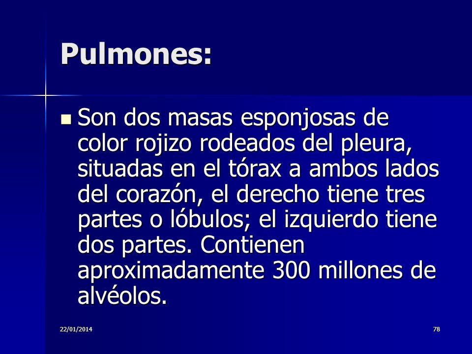 22/01/201478 Pulmones: Son dos masas esponjosas de color rojizo rodeados del pleura, situadas en el tórax a ambos lados del corazón, el derecho tiene