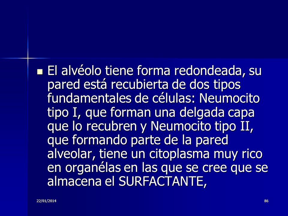 22/01/201486 El alvéolo tiene forma redondeada, su pared está recubierta de dos tipos fundamentales de células: Neumocito tipo I, que forman una delga