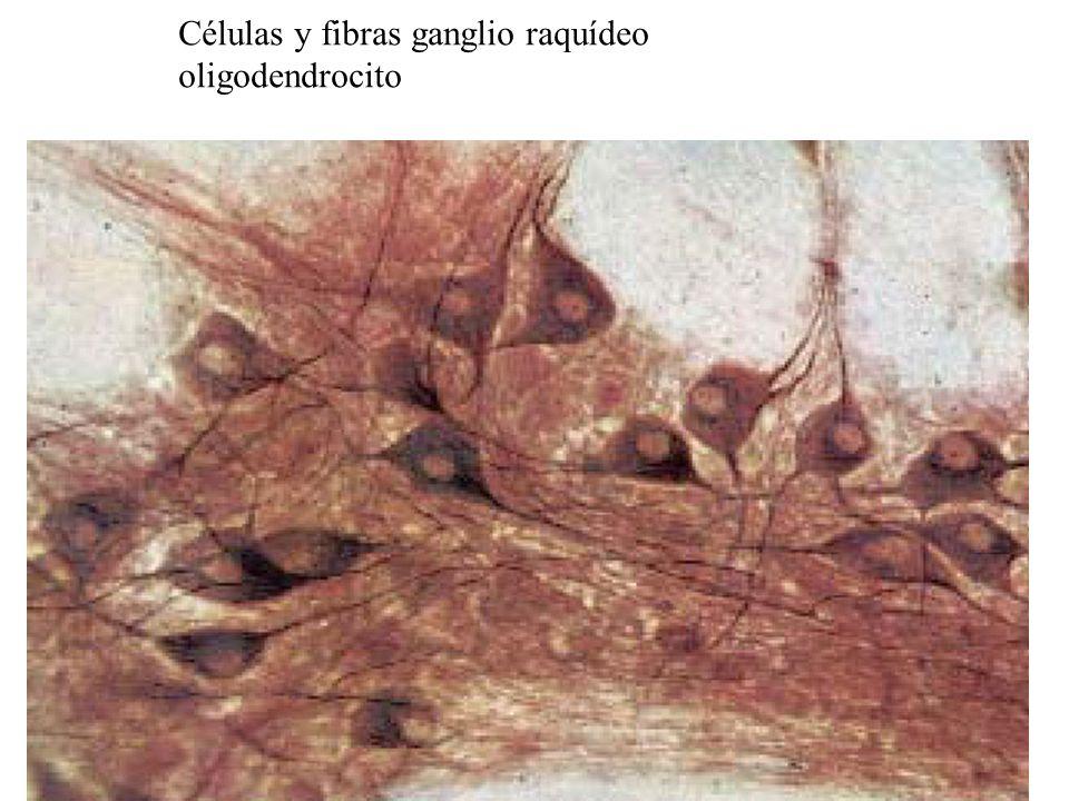 Células y fibras ganglio raquídeo oligodendrocito