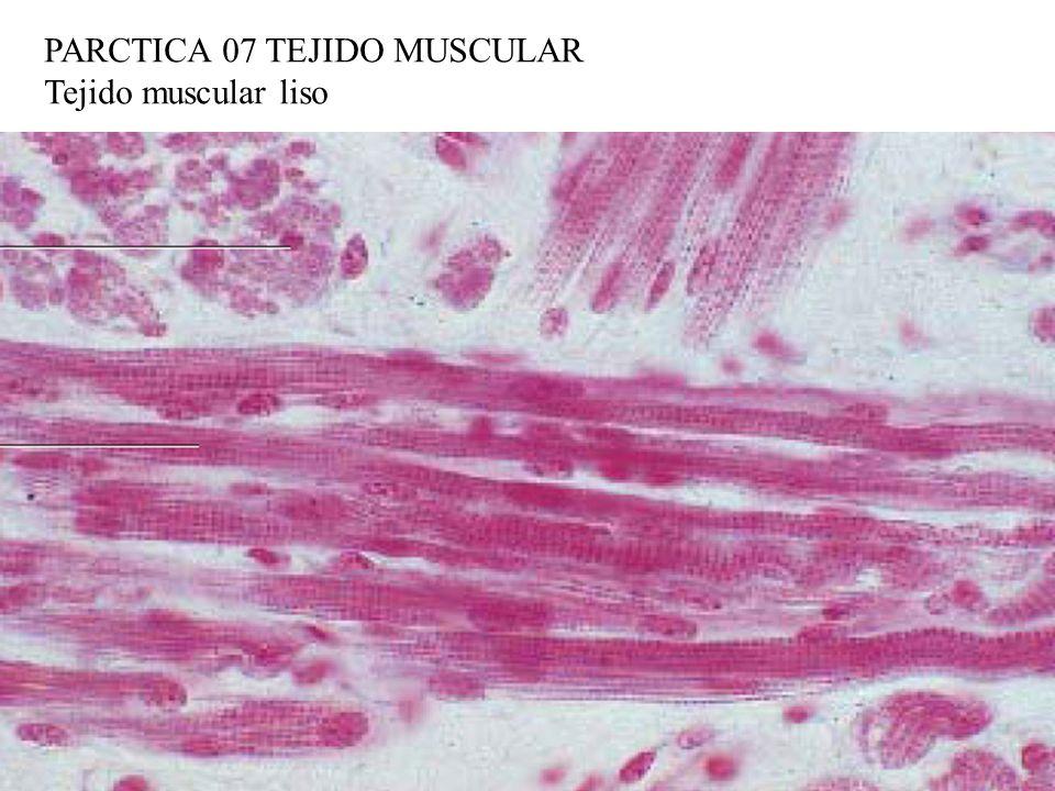 PARCTICA 07 TEJIDO MUSCULAR Tejido muscular liso