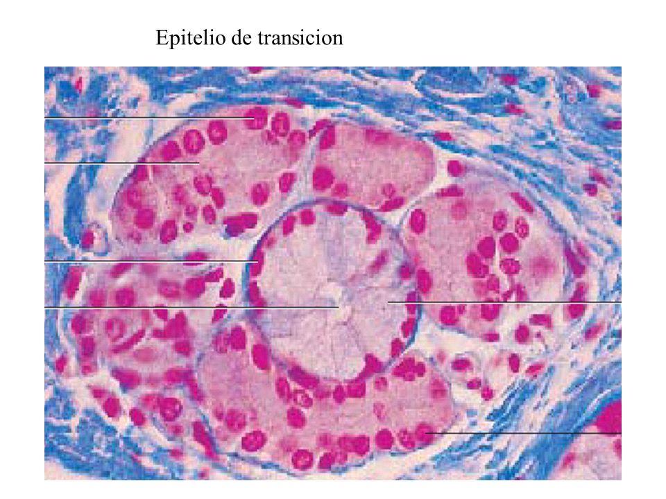 Epitelio cilíndrico pseudo estratificado ciliado