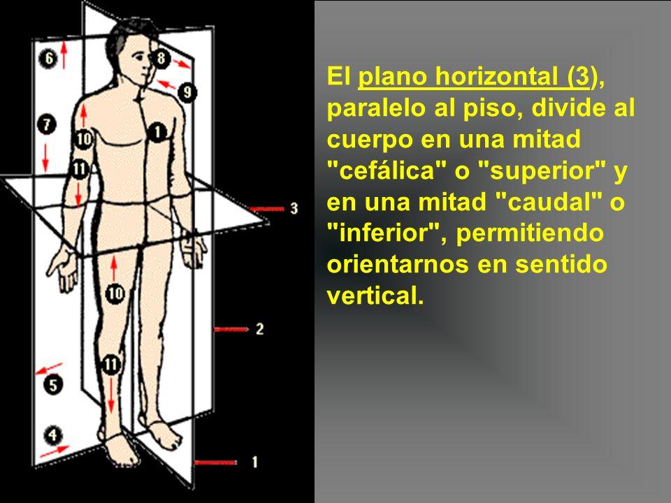 El plano horizontal (3), paralelo al piso, divide al cuerpo en una mitad