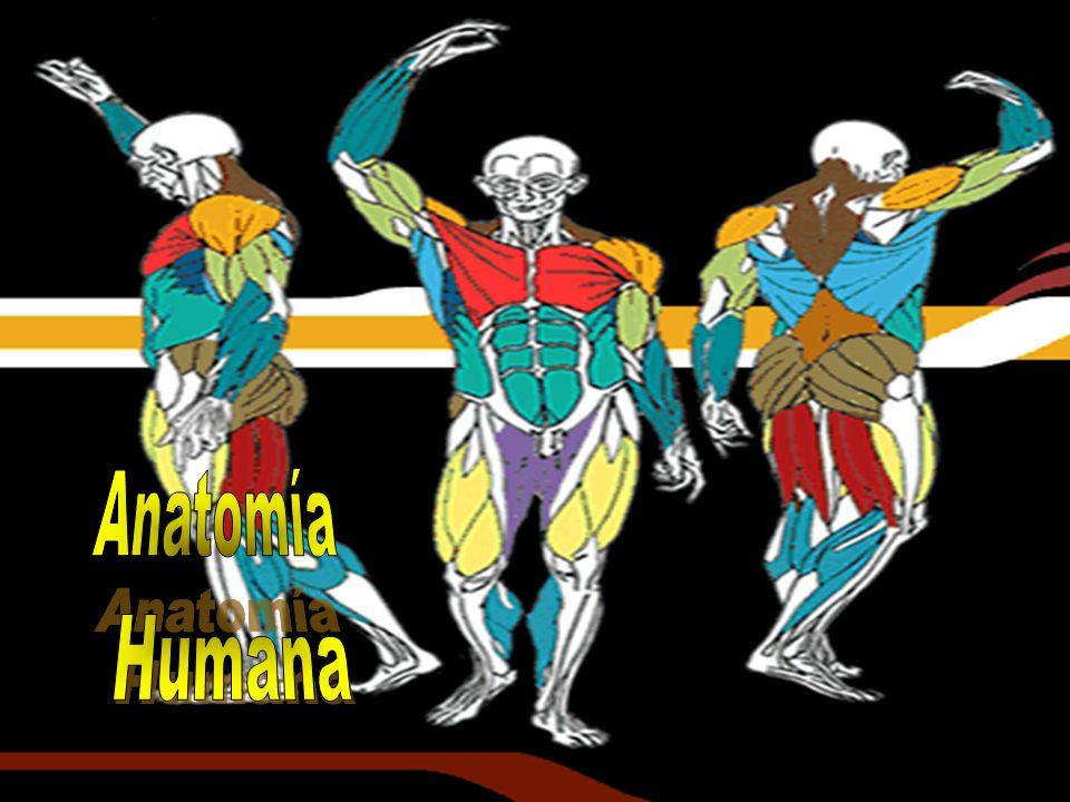 La anatomía (A.) es el estudio de la forma y estructura del cuerpo humano.