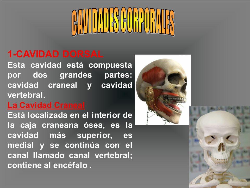 1-CAVIDAD DORSAL Esta cavidad está compuesta por dos grandes partes: cavidad craneal y cavidad vertebral. La Cavidad Craneal Está localizada en el int
