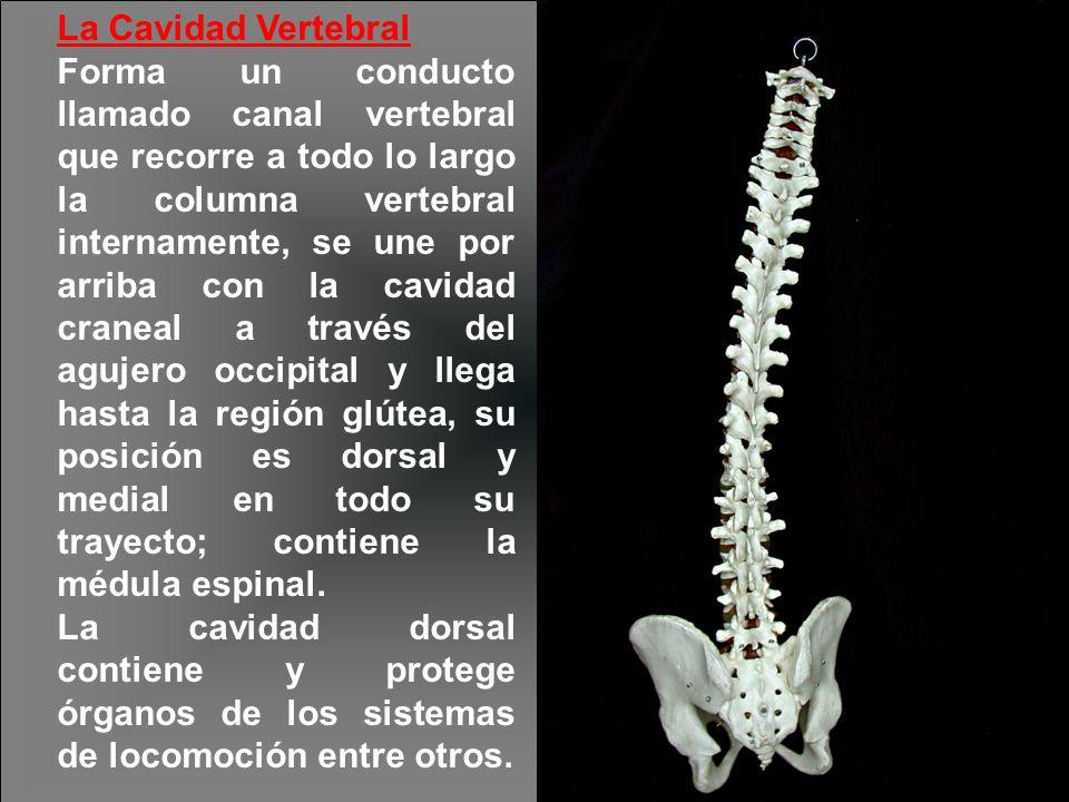 La Cavidad Vertebral Forma un conducto llamado canal vertebral que recorre a todo lo largo la columna vertebral internamente, se une por arriba con la