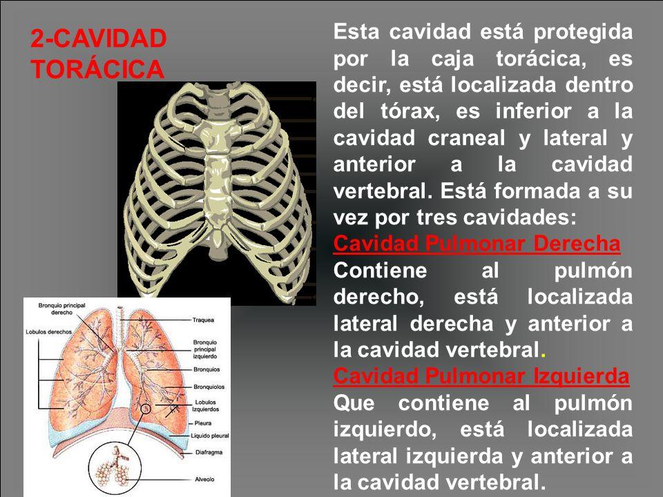 Esta cavidad está protegida por la caja torácica, es decir, está localizada dentro del tórax, es inferior a la cavidad craneal y lateral y anterior a