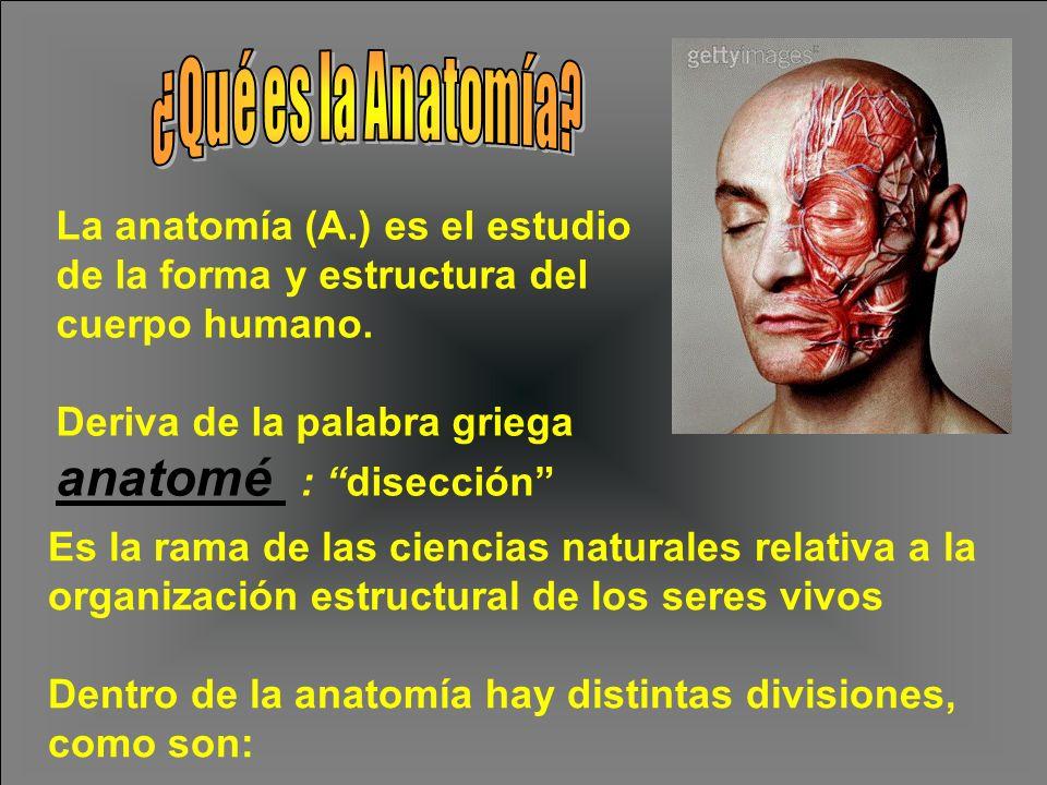 La anatomía (A.) es el estudio de la forma y estructura del cuerpo humano. Deriva de la palabra griega anatomé : disección Es la rama de las ciencias
