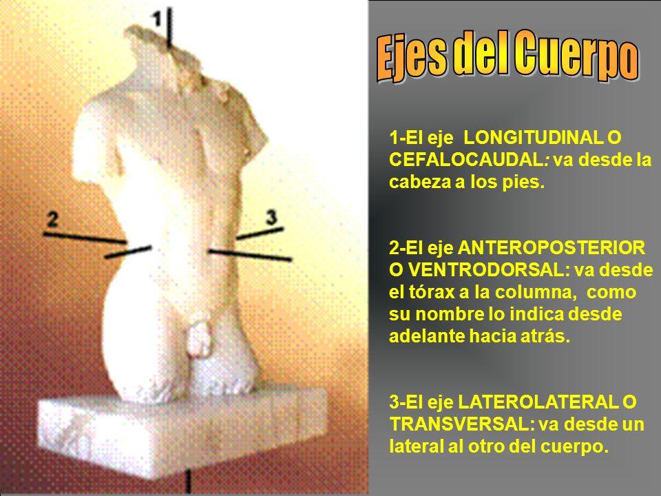 1-El eje LONGITUDINAL O CEFALOCAUDAL: va desde la cabeza a los pies. 2-El eje ANTEROPOSTERIOR O VENTRODORSAL: va desde el tórax a la columna, como su