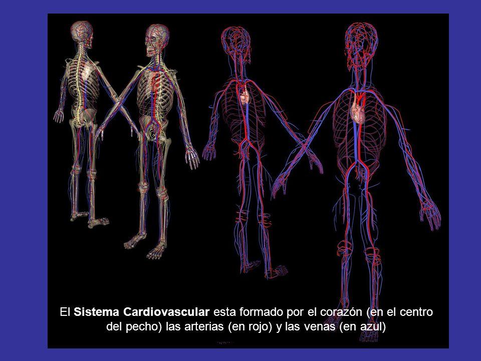 El Sistema Cardiovascular esta formado por el corazón (en el centro del pecho) las arterias (en rojo) y las venas (en azul)