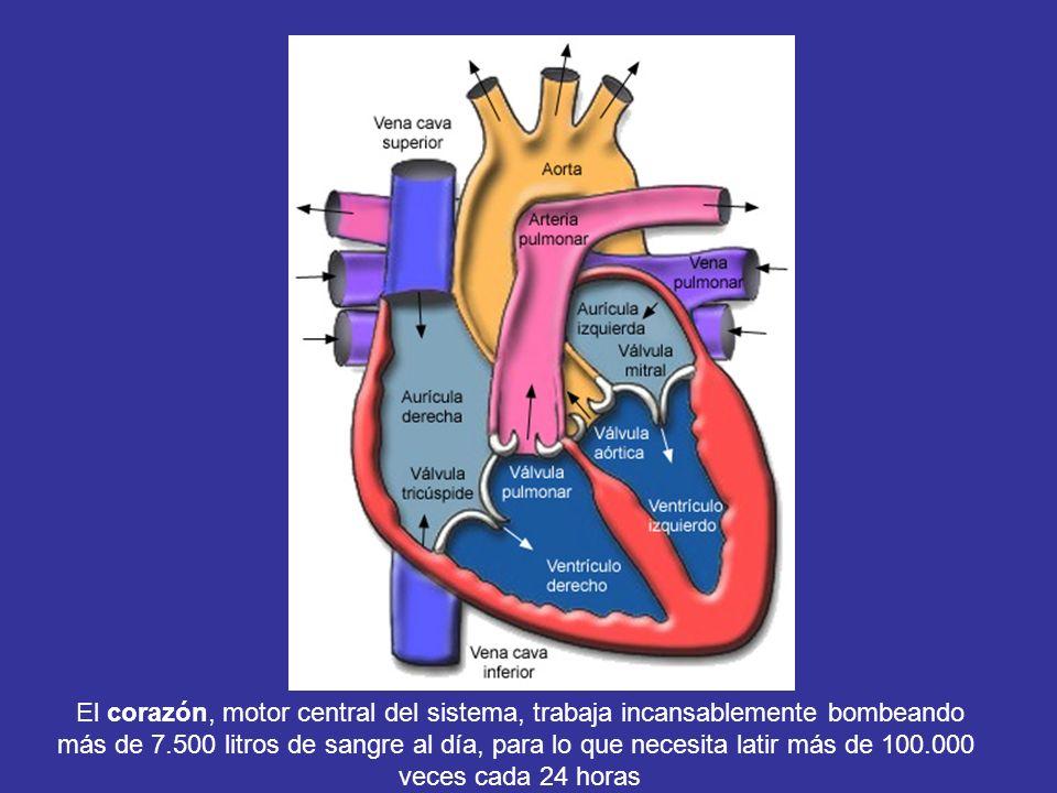 El corazón, motor central del sistema, trabaja incansablemente bombeando más de 7.500 litros de sangre al día, para lo que necesita latir más de 100.0