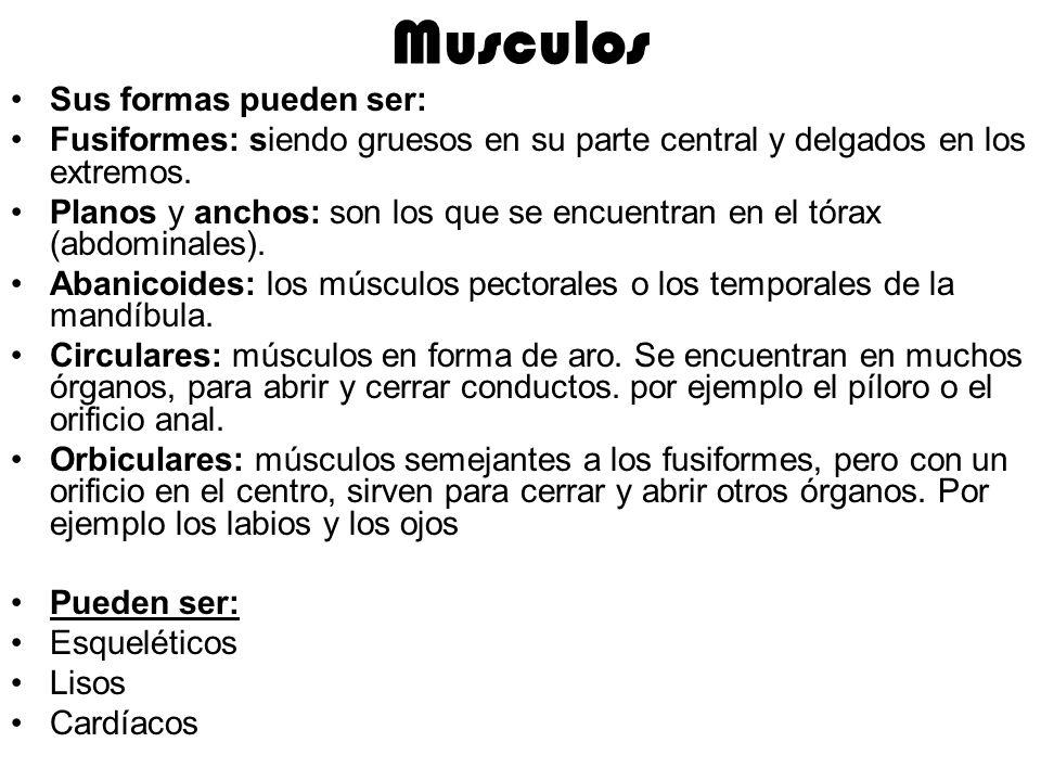 Musculos Sus formas pueden ser: Fusiformes: siendo gruesos en su parte central y delgados en los extremos. Planos y anchos: son los que se encuentran