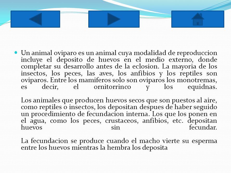 Un animal oviparo es un animal cuya modalidad de reproduccion incluye el deposito de huevos en el medio externo, donde completar su desarrollo antes d