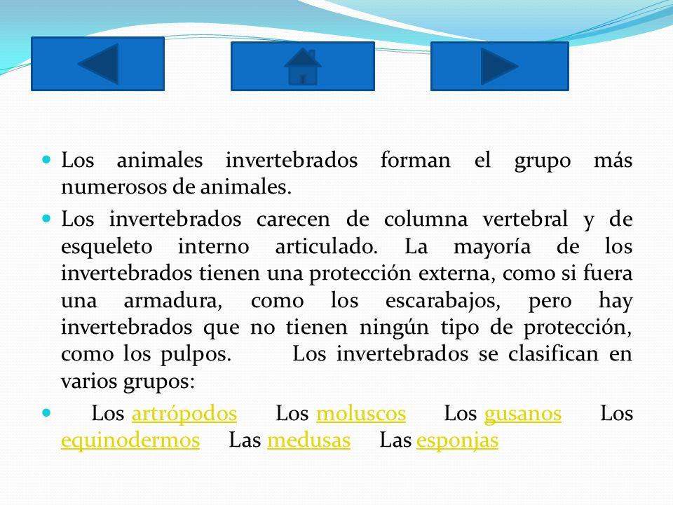 Los animales invertebrados forman el grupo más numerosos de animales. Los invertebrados carecen de columna vertebral y de esqueleto interno articulado