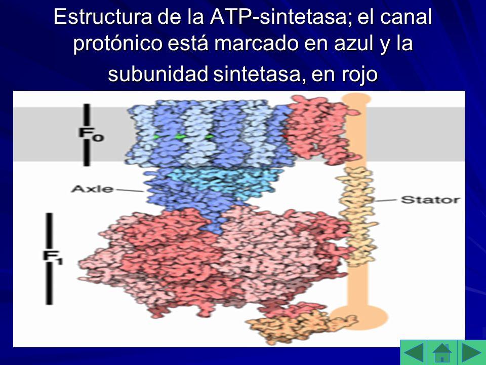 Estructura de la ATP-sintetasa; el canal protónico está marcado en azul y la subunidad sintetasa, en rojo