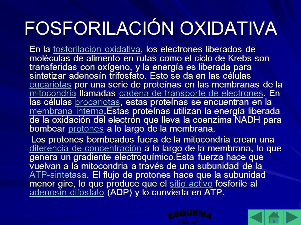FOSFORILACIÓN OXIDATIVA En la fosforilación oxidativa, los electrones liberados de moléculas de alimento en rutas como el ciclo de Krebs son transferidas con oxígeno, y la energía es liberada para sintetizar adenosín trifosfato.